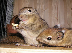 Baumstreifenhörnchen